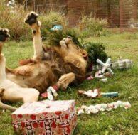 Big-Cats-Christmas_12_28_12_01